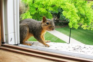 How To Get Rid Of Squirrels Squirrel Removal Tips
