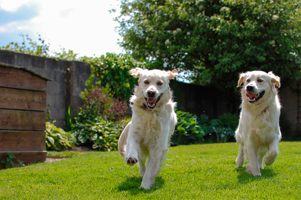 Two dogs playing in a home's back yard